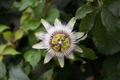 Passion Flower in Riomaggiore