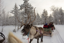 The reindeer behind out sledge. He was constantly trying to overtake us.
